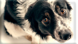 Фото: Собака смотрит виновато